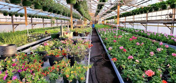 Flowers and plants in a Whiting Farm greenhouse.
